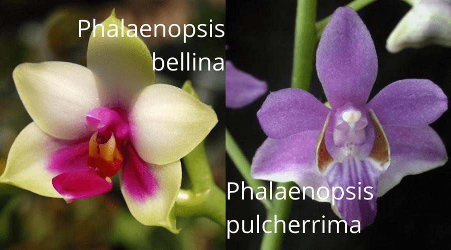 phalaenopsis orchid varieties