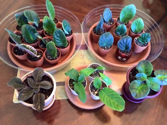 african violet propagation cuttings in bowls of soil