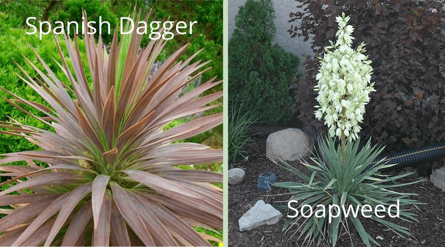yucca varieties Spanish Dagger and Soapaweed