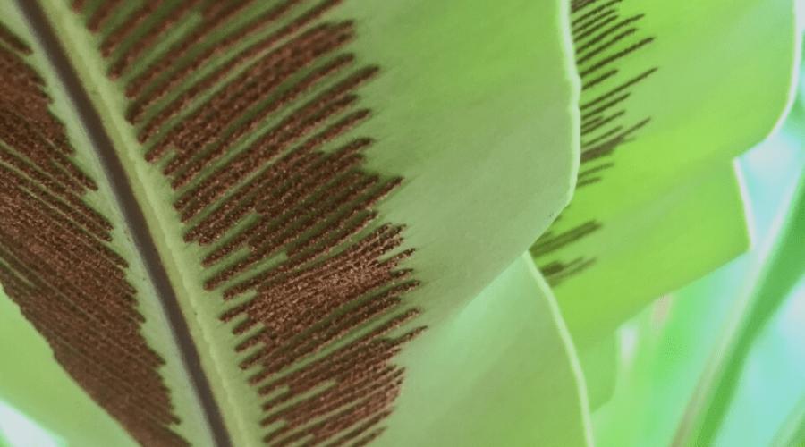 propagating bird nest nidus fern with spores
