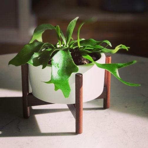 houseplant staghorn fern in modern white ceramic planter on table