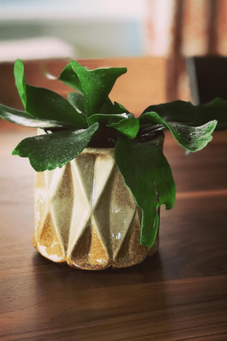potted staghorn fern in gold geometric planter on table indoors