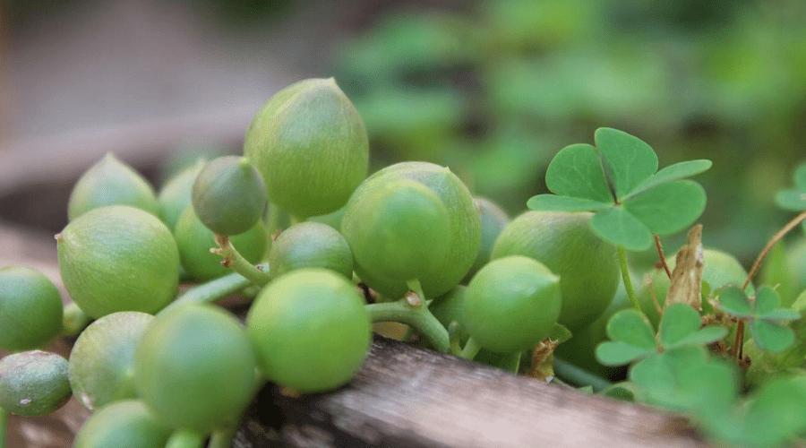 senecio curio string of pearls plant closeup of foliage