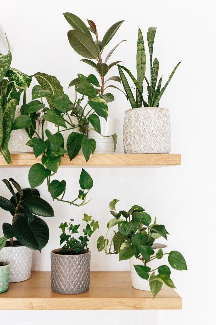 Stylish green houseplants on wooden shelves. Modern room decor urban jungle.