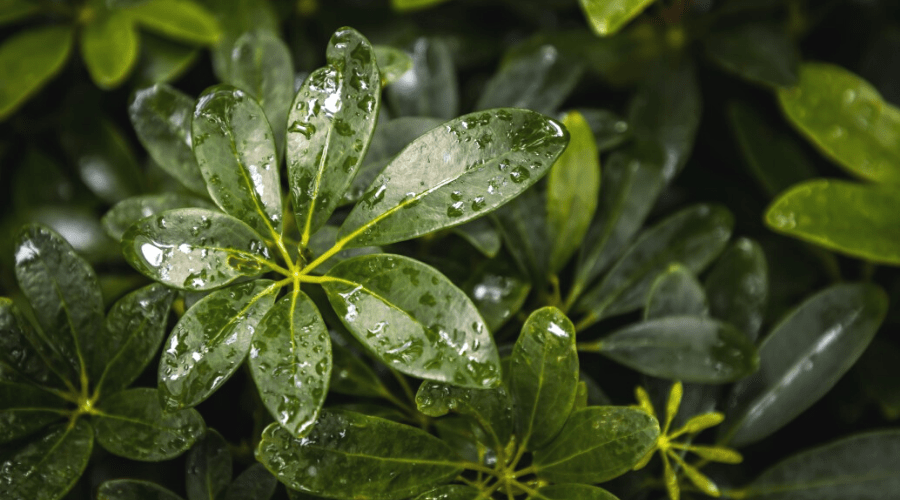 watering a shefflera actinaphylla all green variety indoors