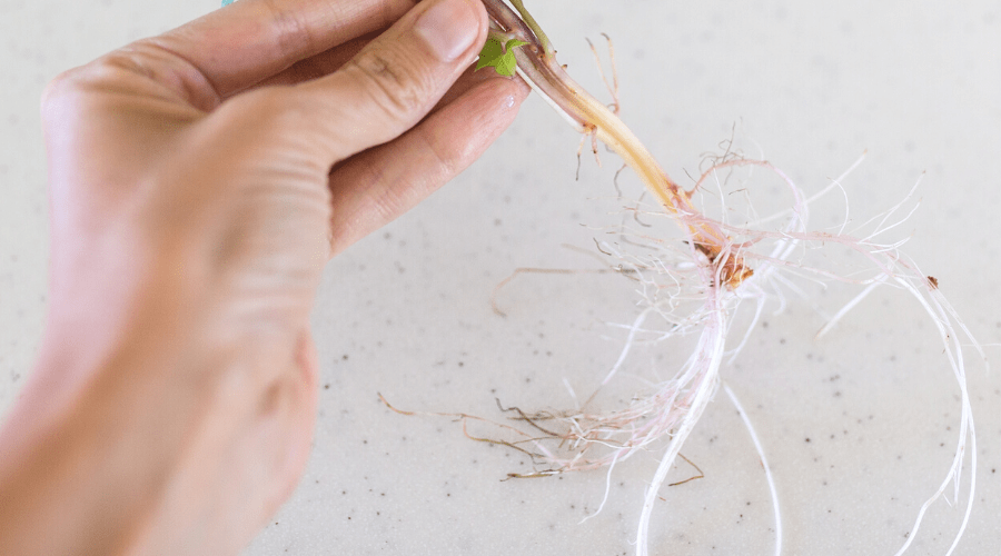 plant roots should be detangled and cleaned before repotting to ensure good growth