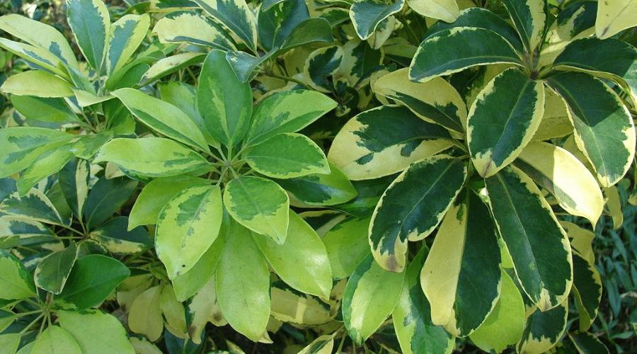 two varieties of variegated shefflera umbrella plant