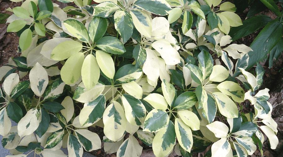 variegata shefflera arboricola umbrella tree variegated