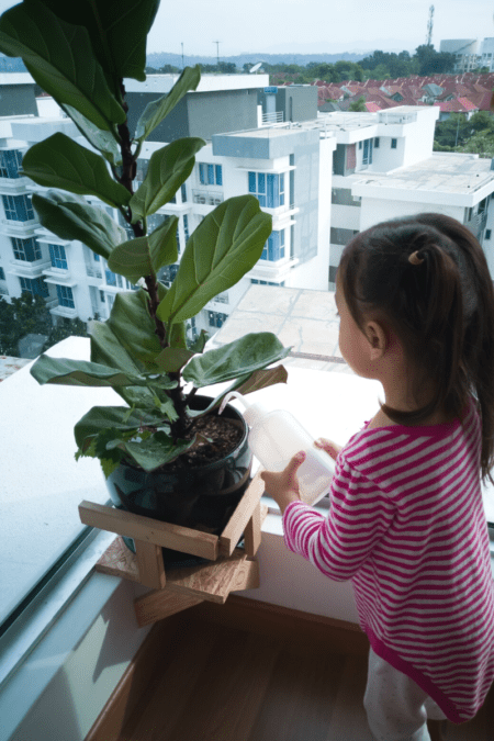 small girls waters indoor ficus lyrata fiddle leaf fig in front of apartment windows in city