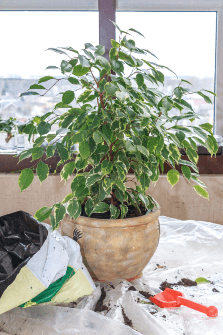repotting a small weeping fig ficus benjamina indoor tree