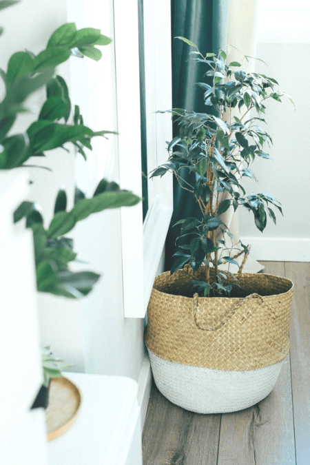 weeping fig ficus benjamina in seagrass basket planter indoors