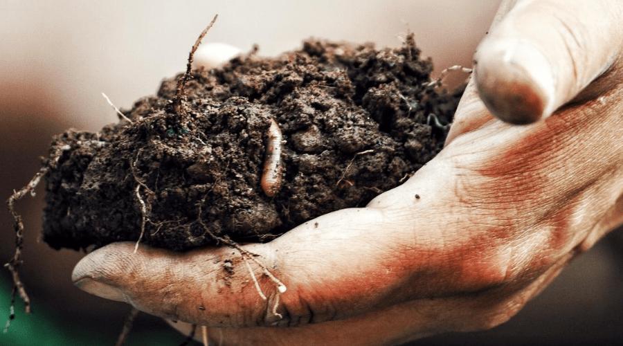 earthworm red wriggler in handful of soil closeup