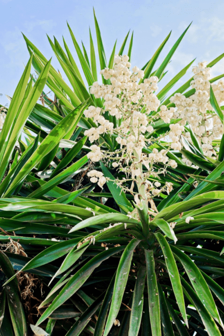 blooming yucca plant outdoors in blue sky