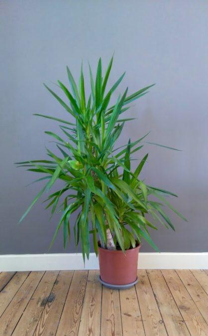 healthy indoor potted yucca