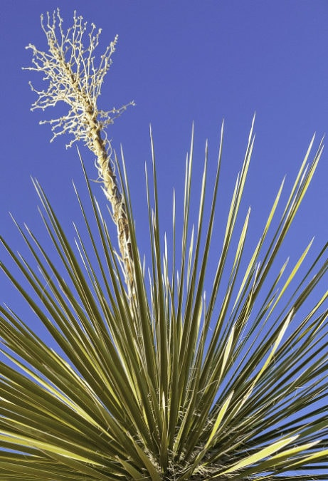 outdoor yucca against blue sky yellowing foliage