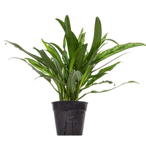 Buy at Planterina