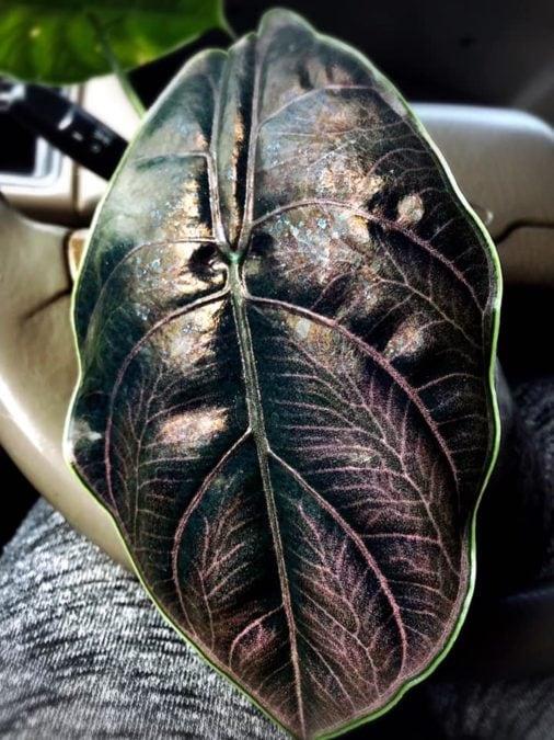 Alocasia Azlanii foliage expensive plant