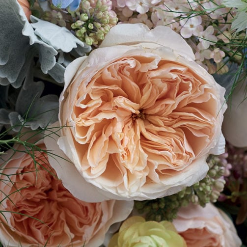 most expensive rose juliet rose bloom