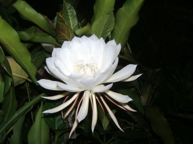 kadupul flower snapplant id photo