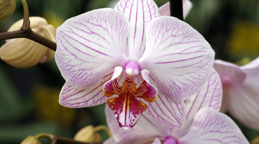most expensive orchid shenzen nongke orchid