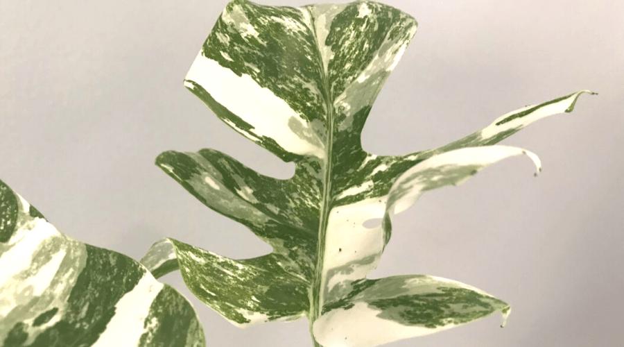 variegated monstera deliciosa foliage split closeup