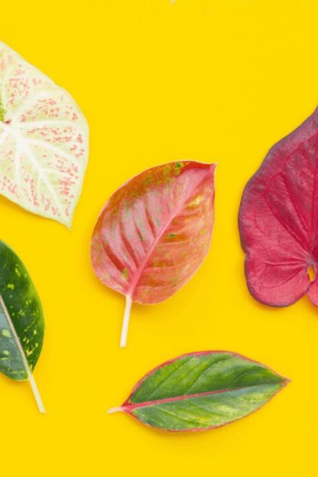 variety of aglaonema chinese evergreen foliage on yellow background