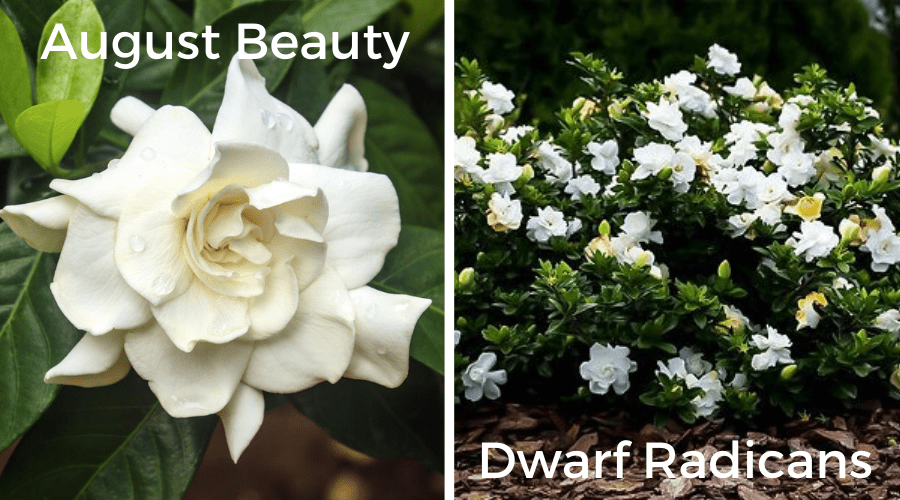 gardenia varieties august beauty and dwarf radicans