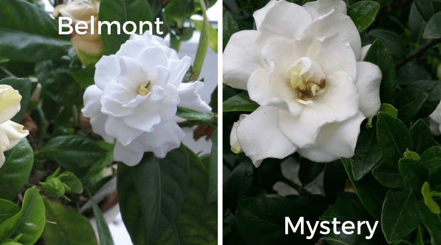 gardenia varieties belmont and mystery