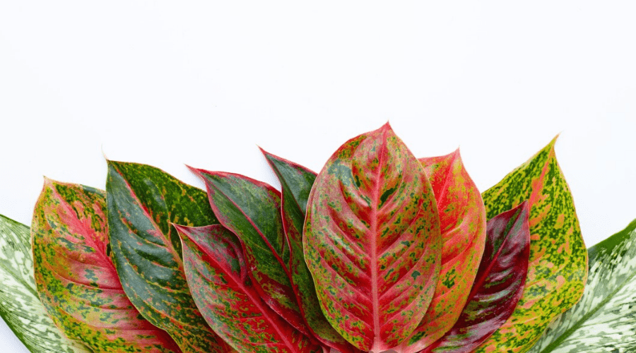 foliage from several varieties of aglaonema chinese evergreen on white background