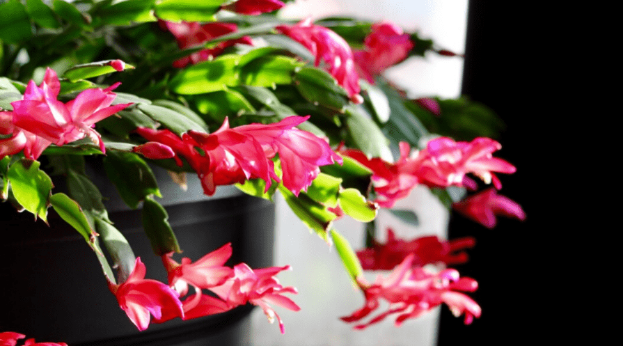 a blooming christmas cactus easter plant indoors