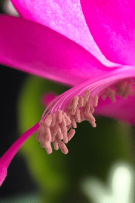 christmas cactus macro hot pink bloom closeup of stamen