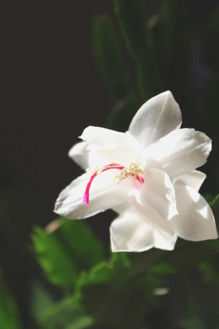 christmas cactus white bloom on black background