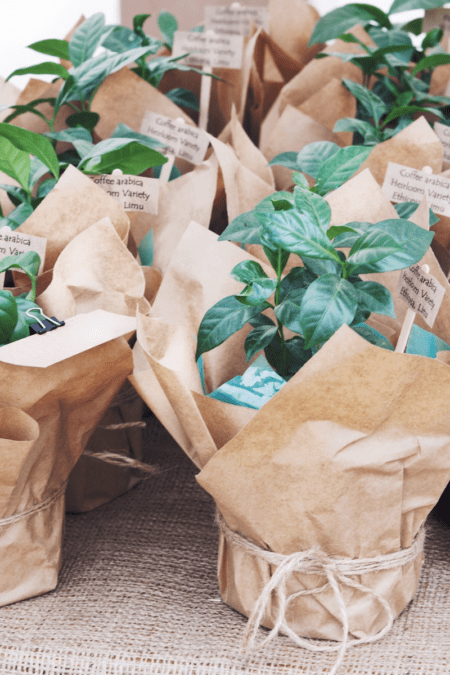 many coffee plants in paper-wrapped planters for sale