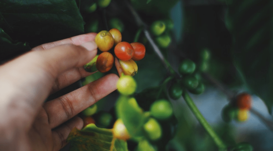 coffee berries on a live coffea plant in hand