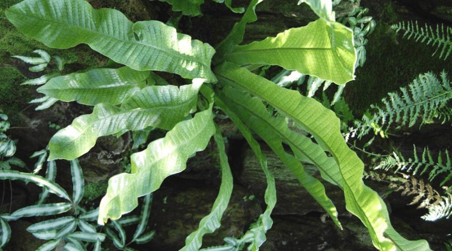 crocodile fern plant guide growing outdoors