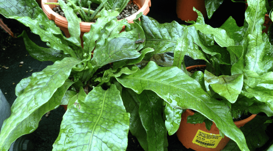 crocodile fern plant guide wide featured crcodyllus ferns for sale on table in grower pots