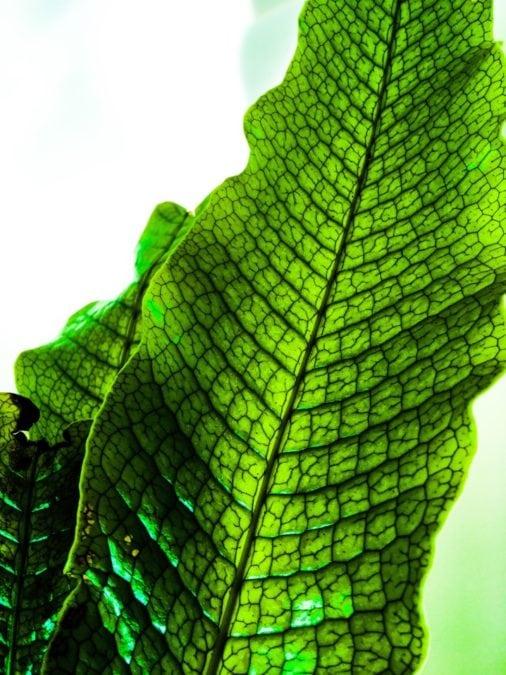 crocodile fern foliage closeup of scale vein texture on leaves