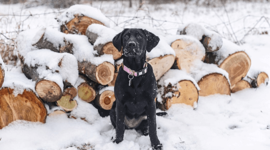 a black lab dog standing in front of cut logs in the snow