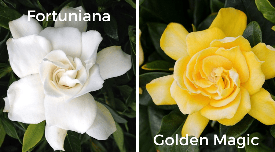 gardenia varieties firtuniana and golden magic