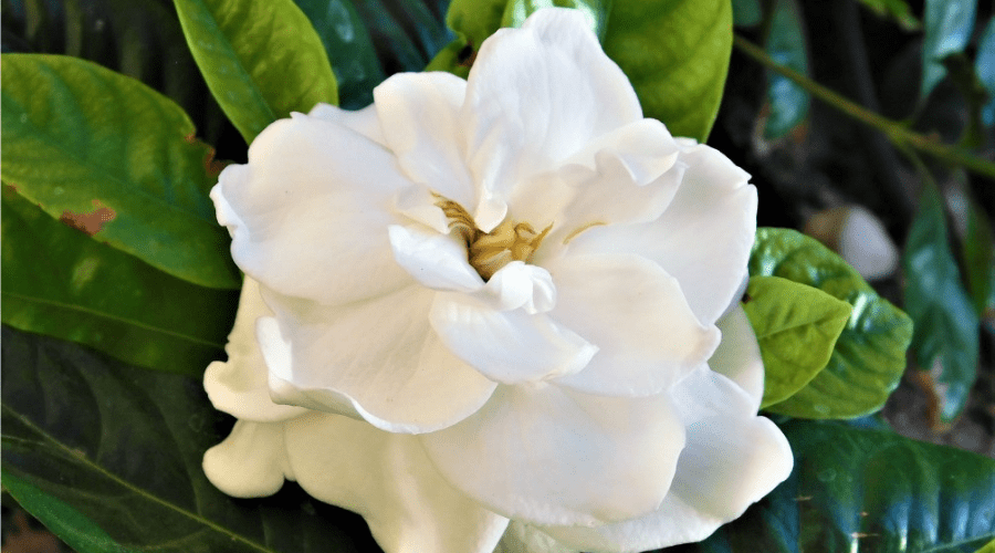 outdoor gardenia in garden blooming double petal
