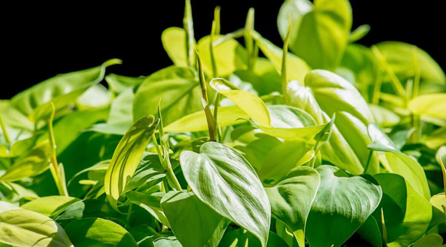 aglaonema emerald bay chinese evergreen foliage