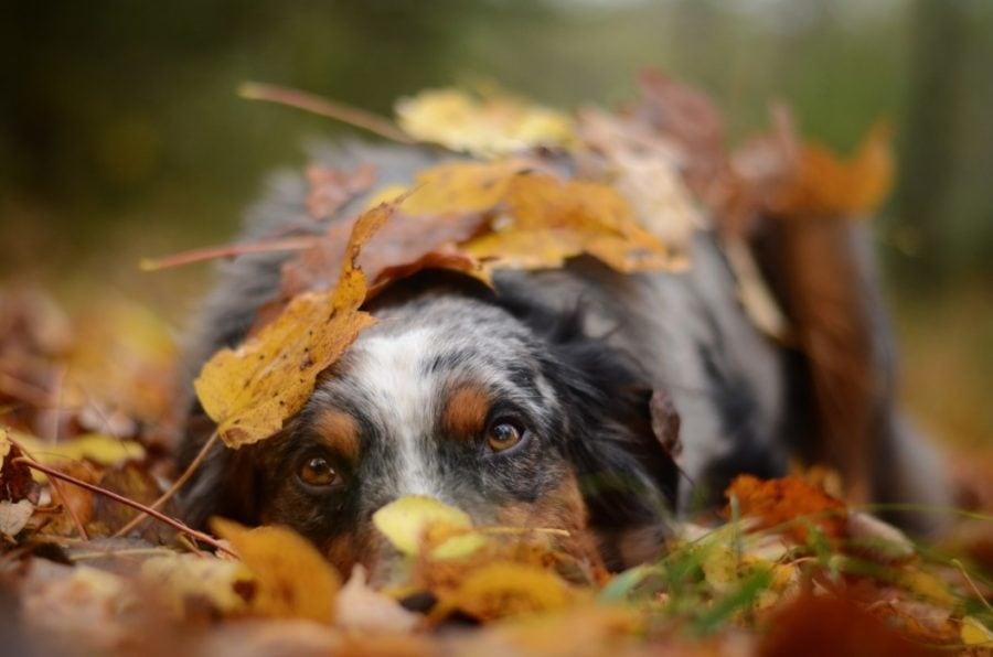 dog relaxing in pile of leaves in autumn pet tax wide leaf raking hacks