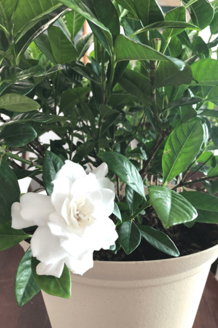 blooming gardenia indoors in growpot