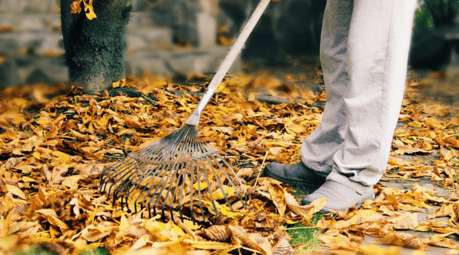 raking dry leaves from grass in autumn