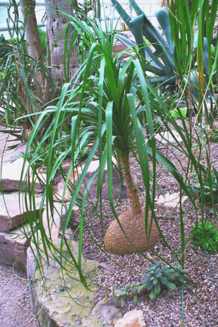medium ponytail palm in ground outdoors well established