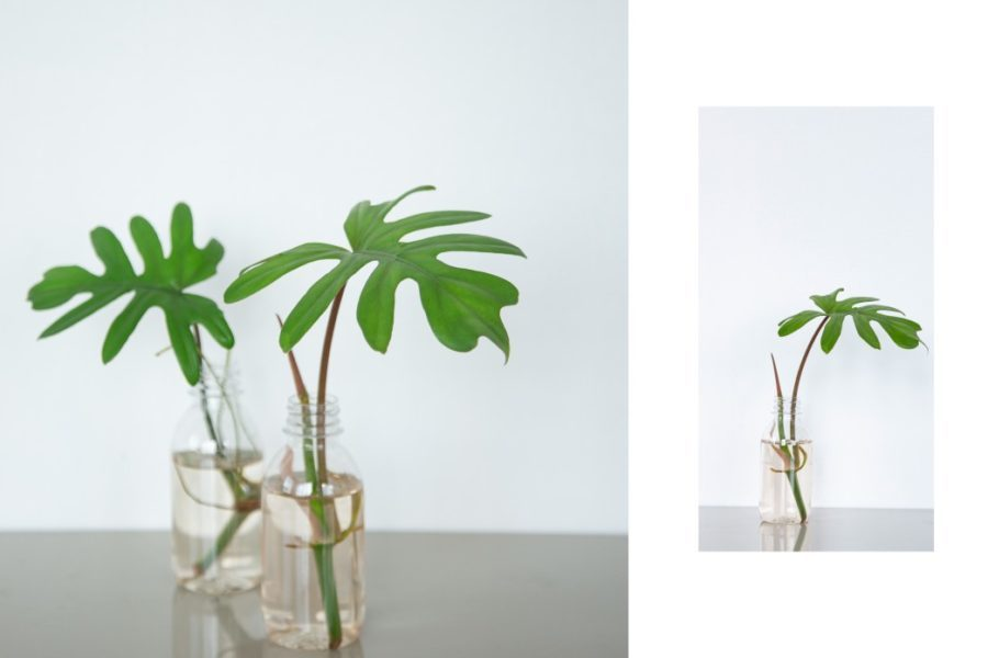 split leaf philodendron xanadu variety