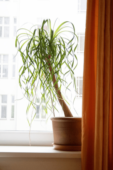 ponytail palm in planter on windowsill with orange curtain