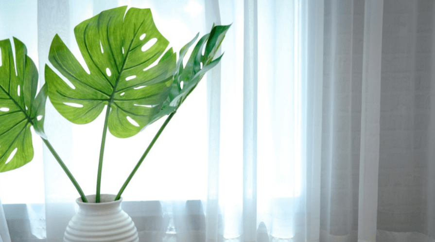 split leaf philodendron monstera deliciosa horizontal featured