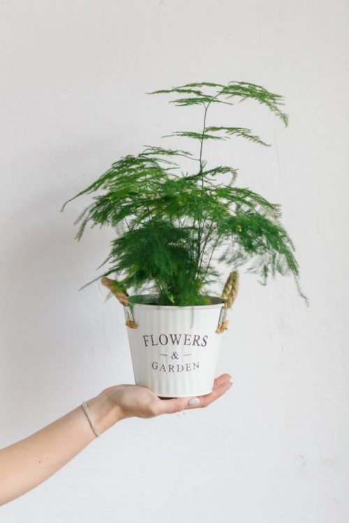 potted asparagus fern in planter