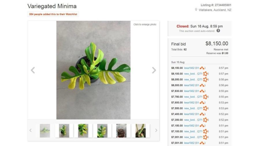 trade me record breaking philodendron minima auction